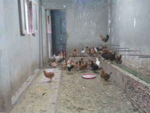Sister Mariem's chickens