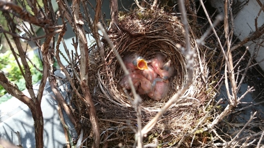 Blackbirds 2 days old and hungry!